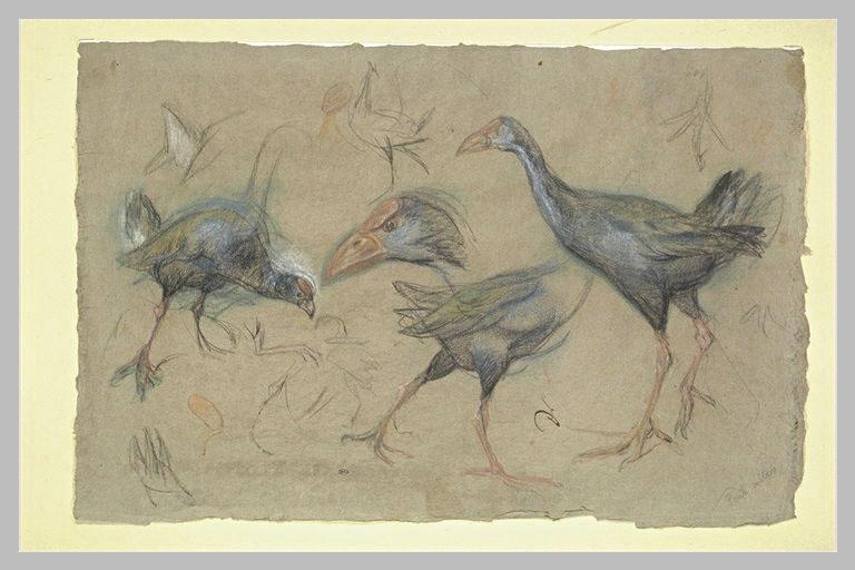 Etudes de poules sultanes
