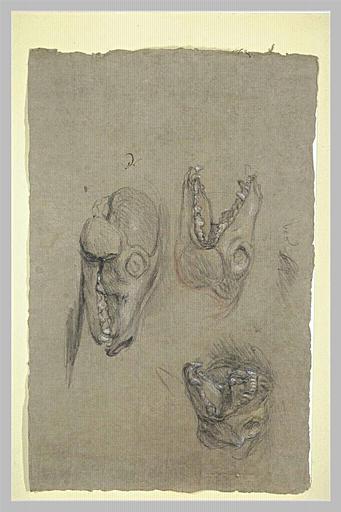 Trois études d'un squelette de tête de renard