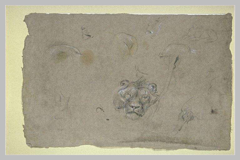 Tête de lion et études des autres parties du même animal