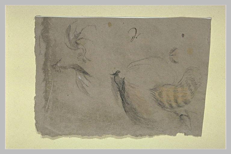 Etudes de deux grues couronnées et d'un raton laveur, vu de dos