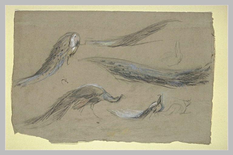 Paons et queues de paons