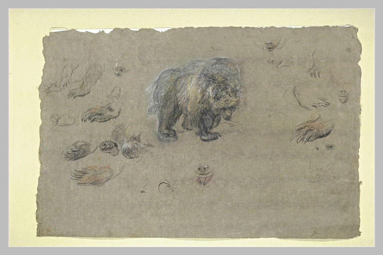 Etudes d'un ours, de pattes et de griffes_0