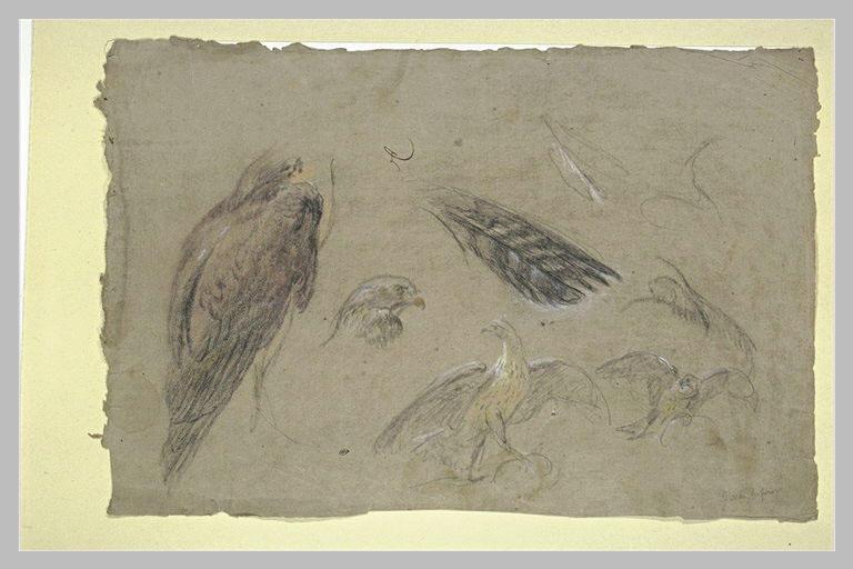 Etudes d'oiseaux de proie