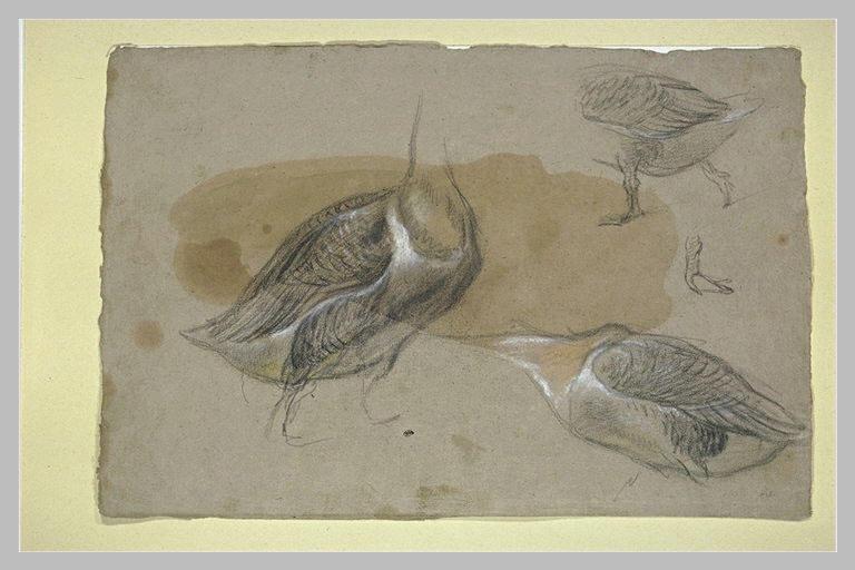 Trois études d'oiseaux palmipèdes, sans têtes