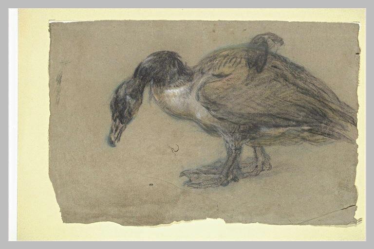 Etude de canard
