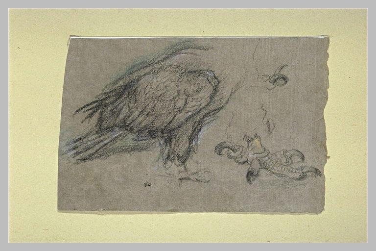 Etudes d'un corps d'oiseau de proie et une griffe