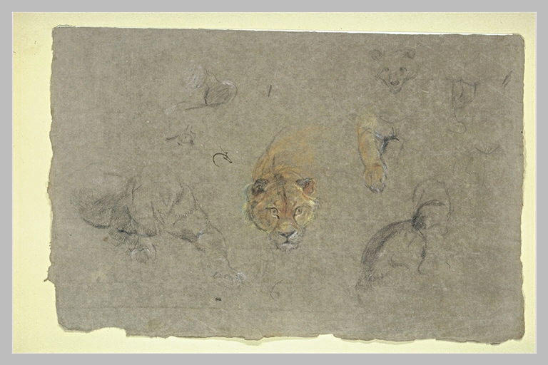 Etude de lions, têtes et parties du corps
