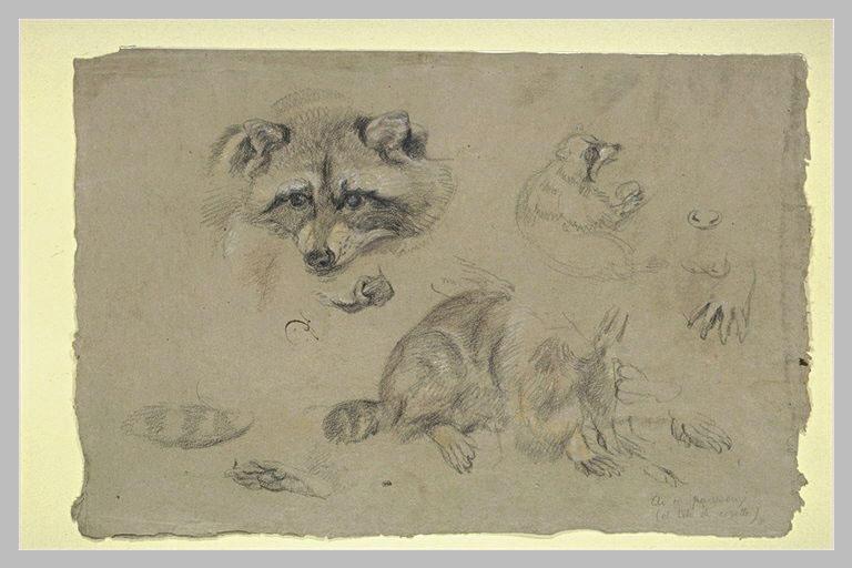 Etude d'une tête de raton laveur et de différentes parties de son corps