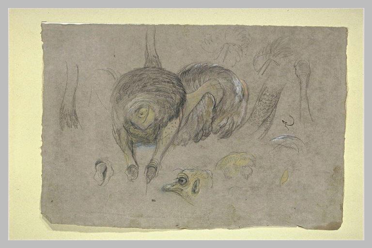 Etude d'une autruche, de plumes, de têtes et de jambes