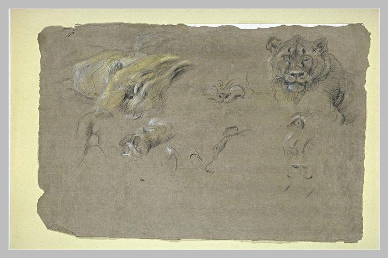 Etude d'une tête de lionne, et de différentes parties du corps