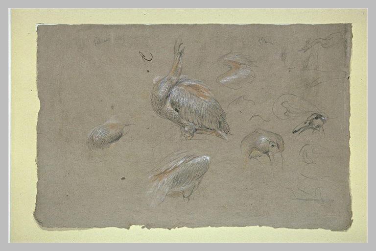Etudes de pélicans, d'ailes et de becs
