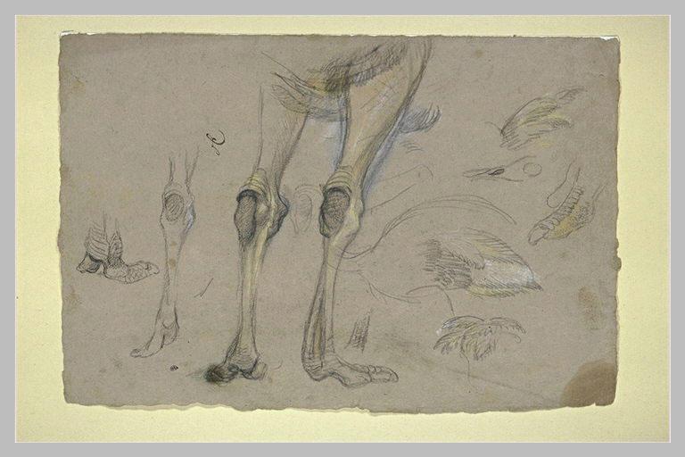 Etude de pattes et d'ailes d'autruches_0