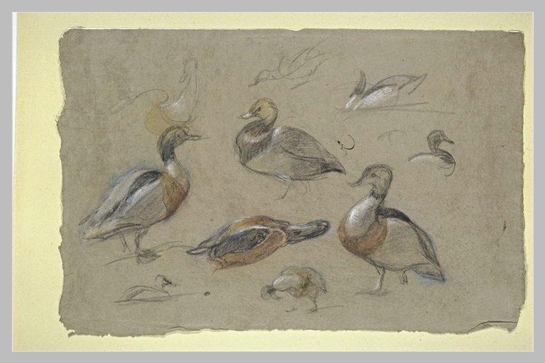 Etude de canards et tête de sarcelle