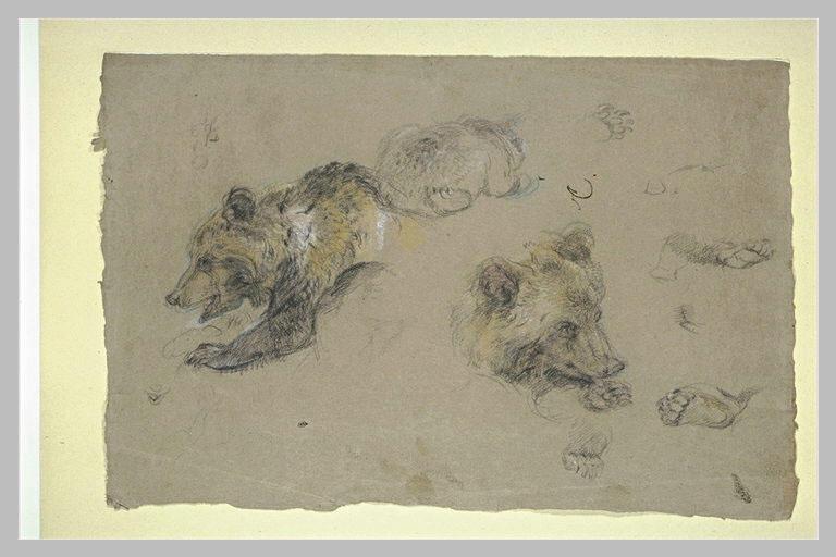 Etudes d'ours, de pattes et de griffes