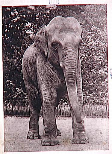 Eléphant de face_0