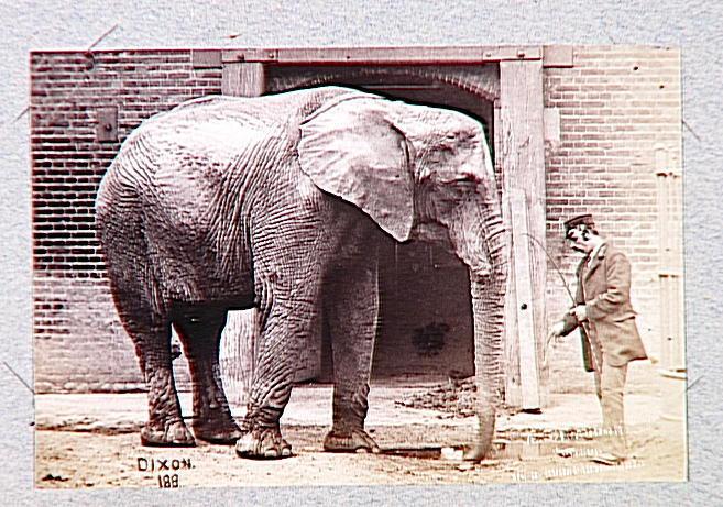 Eléphant tourné vers la droite et cornac européen