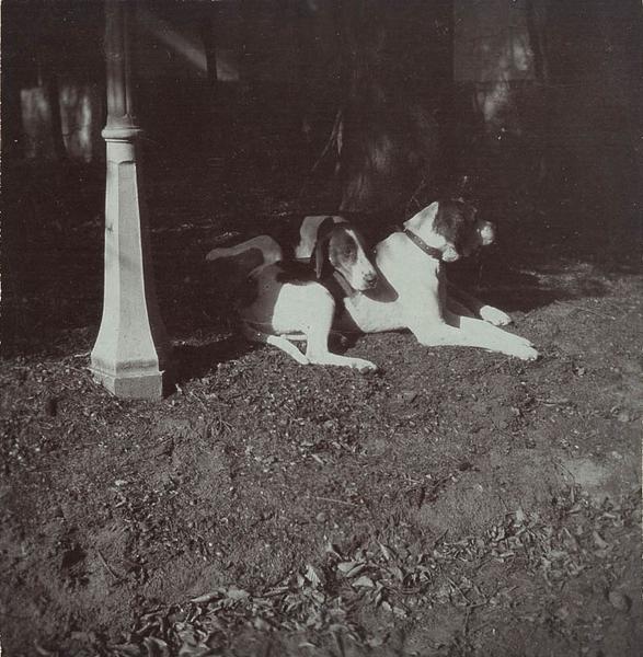 Deux chiens courants de l'équipage du duc de Chartres lors d'une chasse à courre en Chantilly, couchés_0