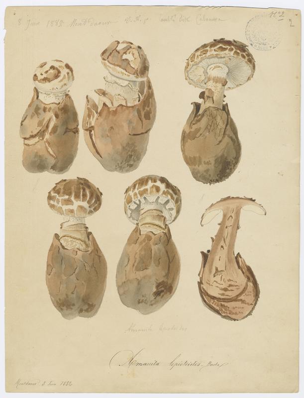 FOSSAT Vincent (aquarelliste, peintre) : Amanite fausse-lépiote, champignon
