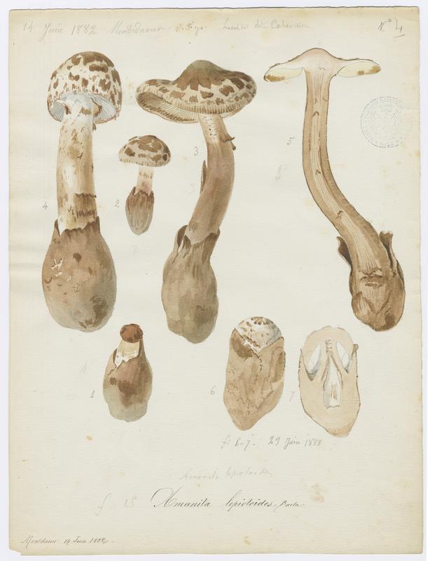 Amanite fausse-lépiote ; champignon_0