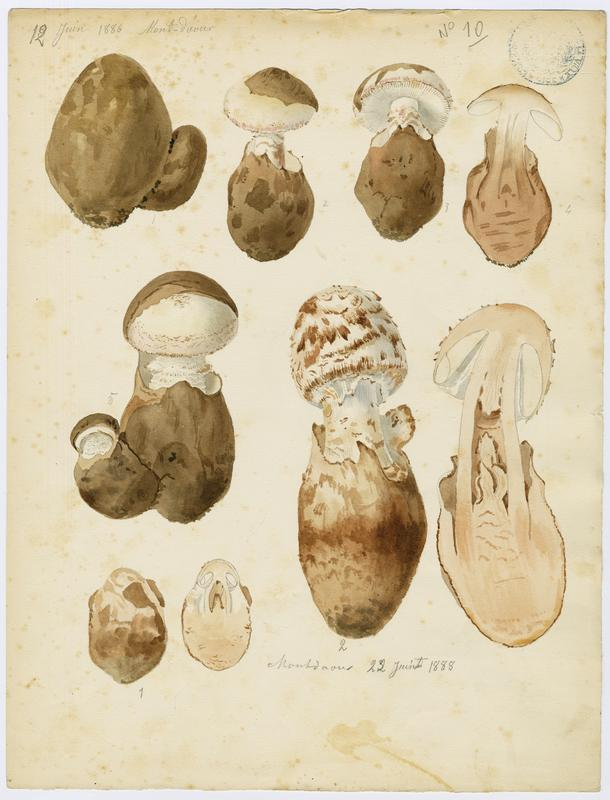 BARLA Jean-Baptiste (attribué à) : Amanite fausse-lépiote, champignon