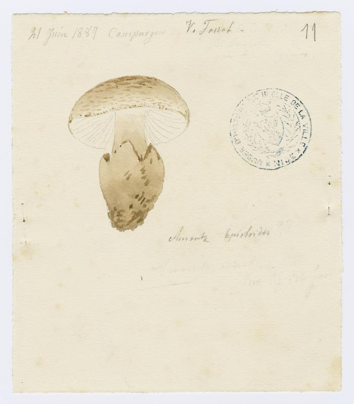 Amanite fausse-lépiote ; champignon