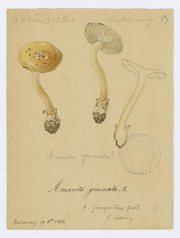 Amanite jonquille ; champignon_0