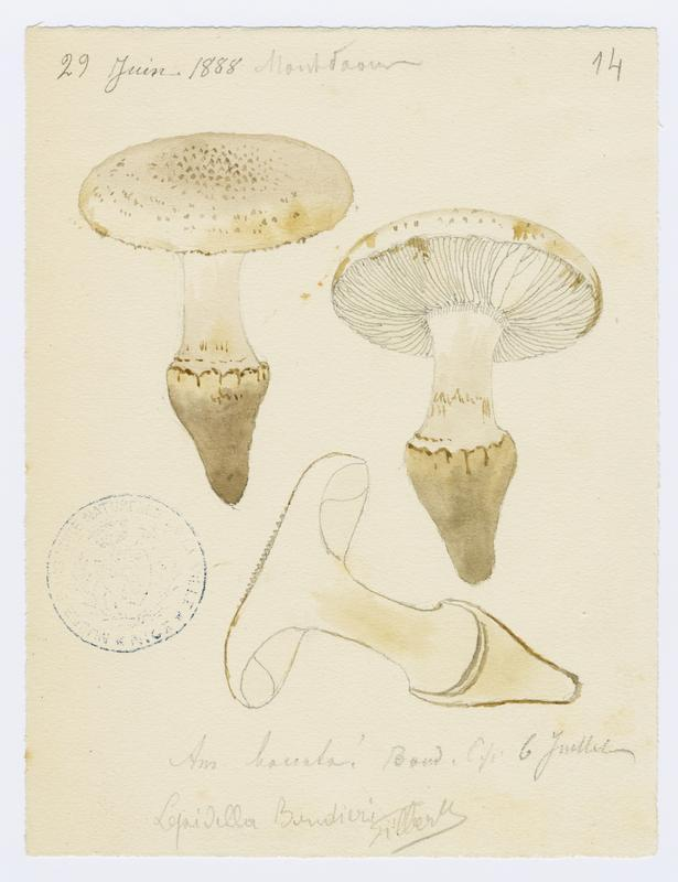 Amanite toupie ; champignon