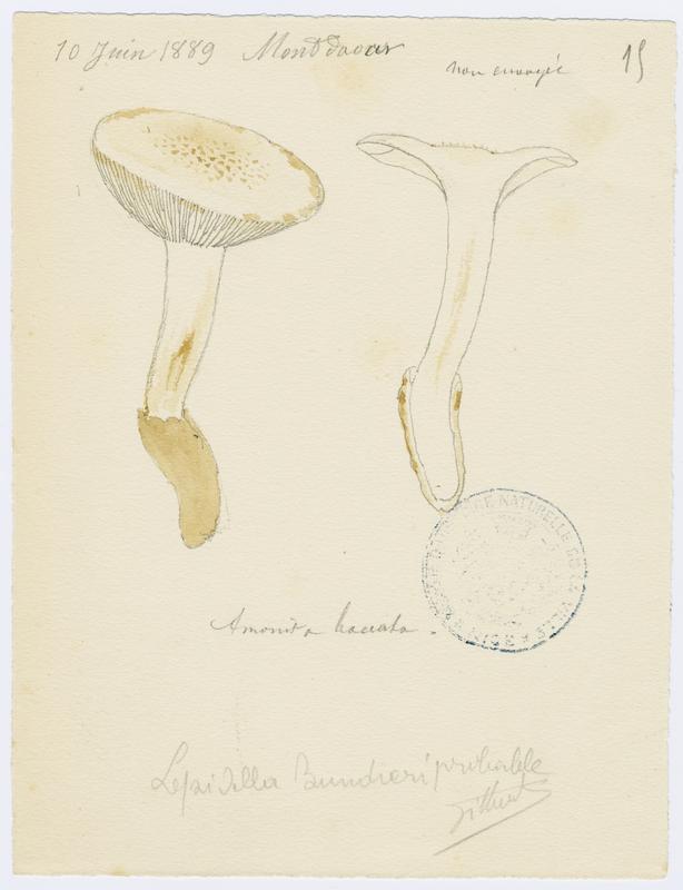 BARLA Jean-Baptiste (attribué à) : Amanite toupie, champignon