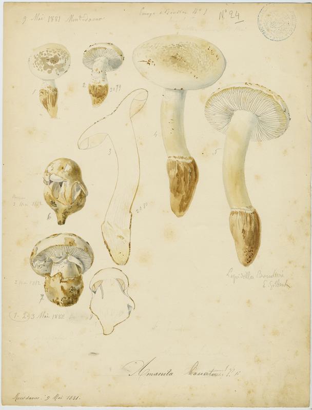 Amanite toupie ; champignon_0
