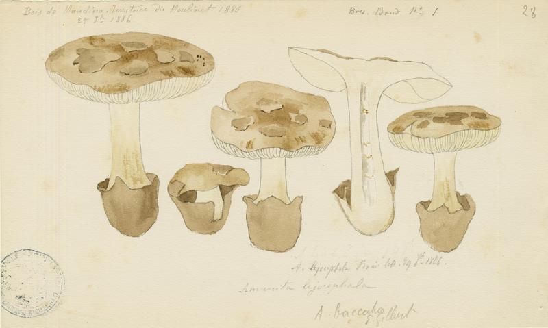 Amanite ; champignon