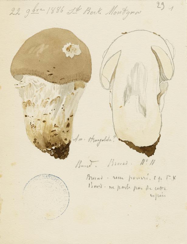 BARLA Jean-Baptiste (attribué à) : Amanite impériale, champignon