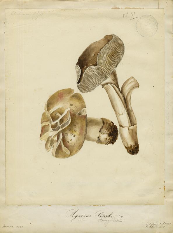 Amanite impériale ; champignon_0