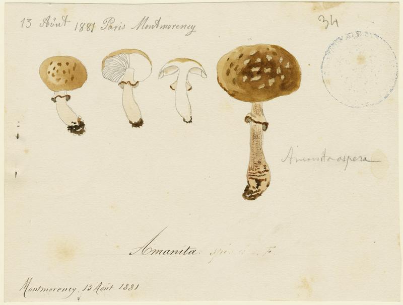 Amanite à voile jaune ; champignon_0