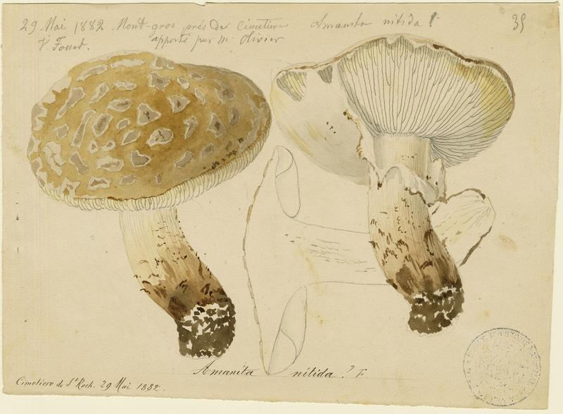 FOSSAT Vincent (aquarelliste, peintre) : Amanite, champignon