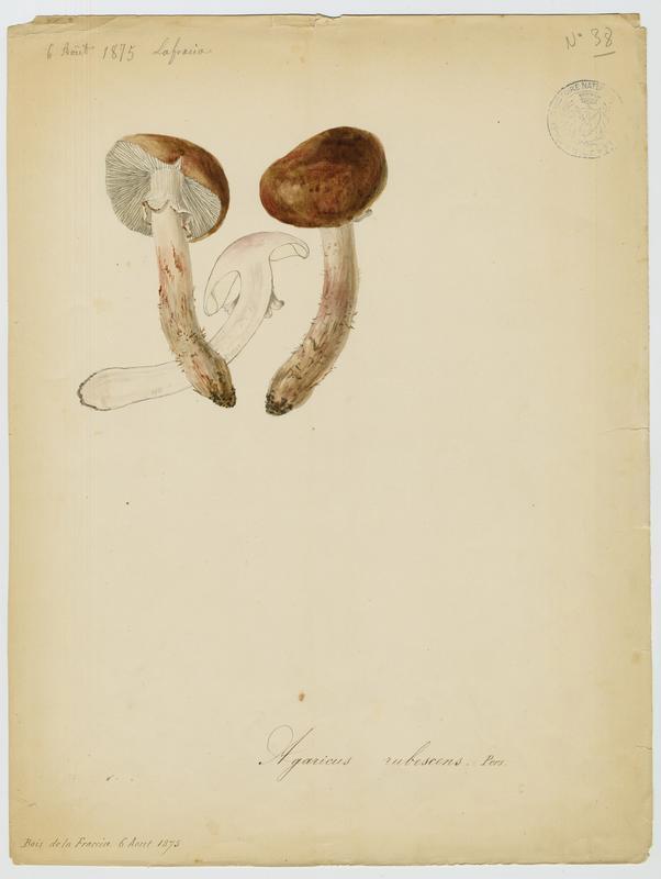 Amanite rougissante ; Amanite rougeâtre ; Amanite vineuse ; Golmotte ; champignon_0
