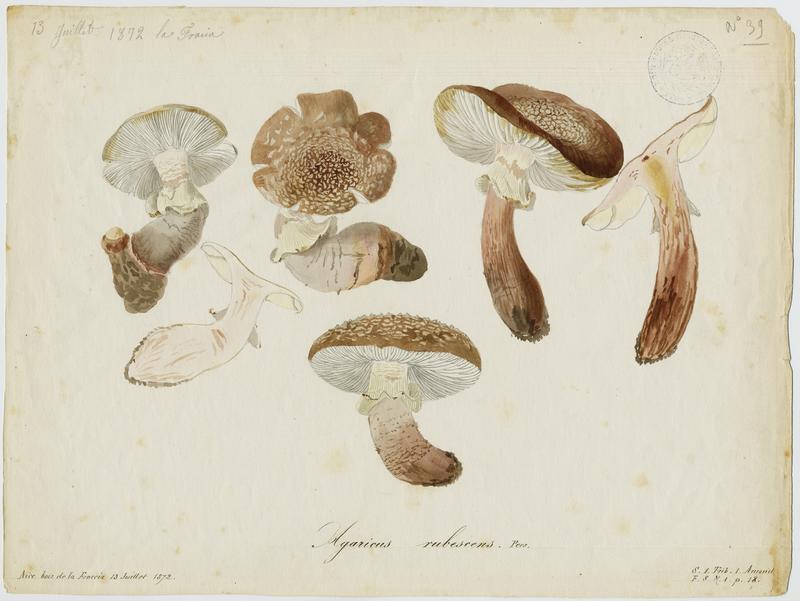 BARLA Jean-Baptiste (attribué à) : Amanite rougissante, Amanite rougeâtre, Amanite vineuse, Golmotte, champignon