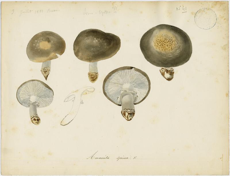 Amanite épaisse ; champignon