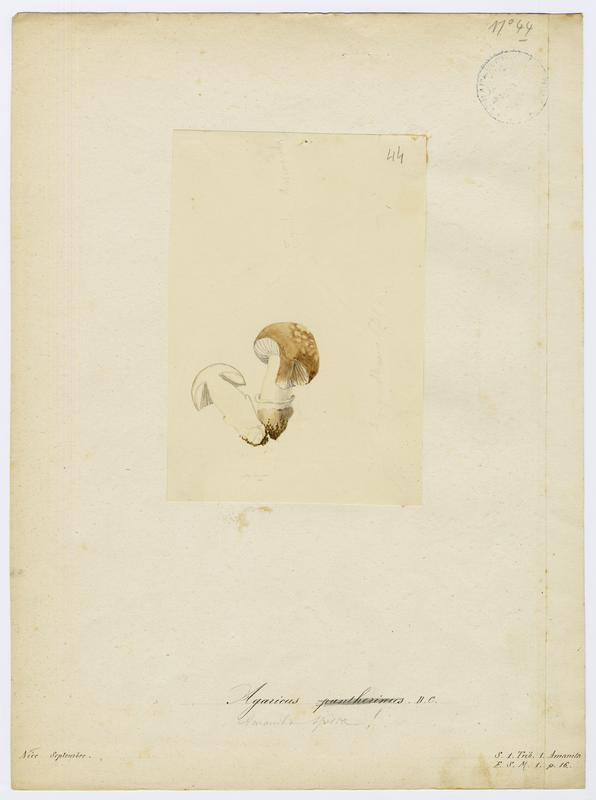 Amanite panthère ; champignon_0
