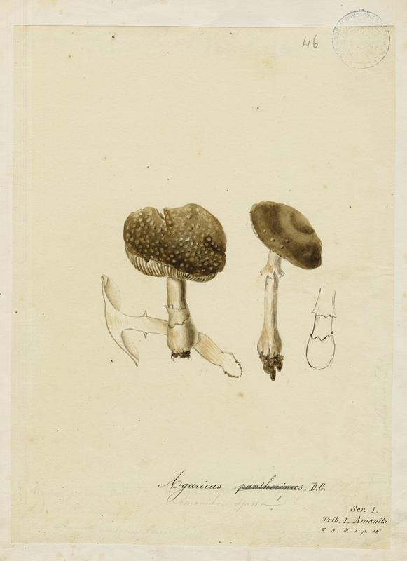 Amanite panthère ; Fausse golmotte ;  champignon_0