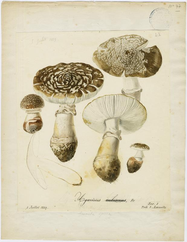 Amanite rougissante ; Amanite rougeâtre ; Amanite vineuse ; Golmotte ; champignon_0