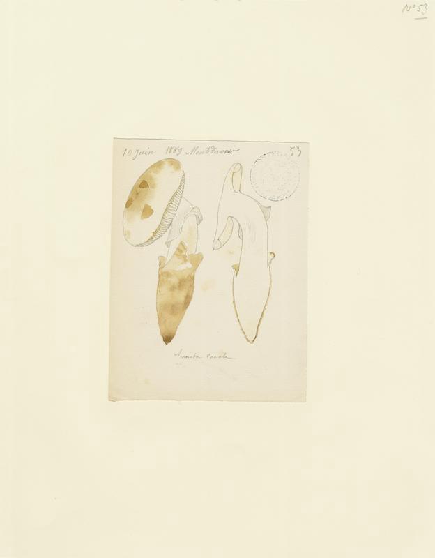 BARLA Jean-Baptiste (attribué à) : Amanite, champignon