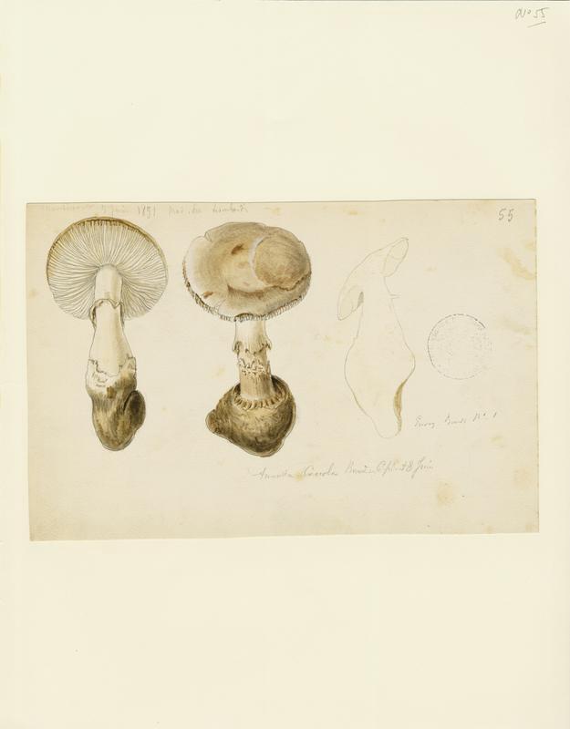 Amanite ; champignon_0