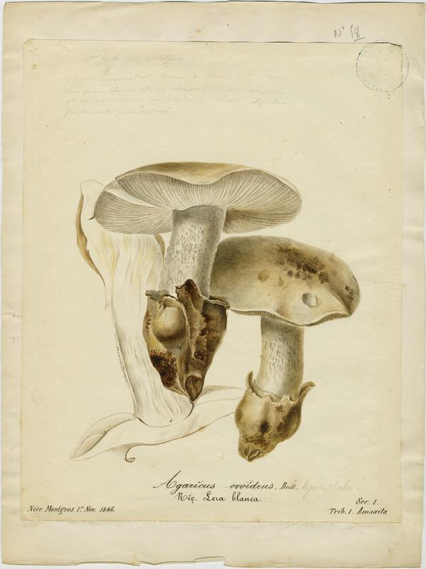 Amanite ovoïde ; Lera blanca ; champignon_0