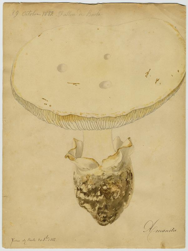 Amanite ovoïde ; champignon_0