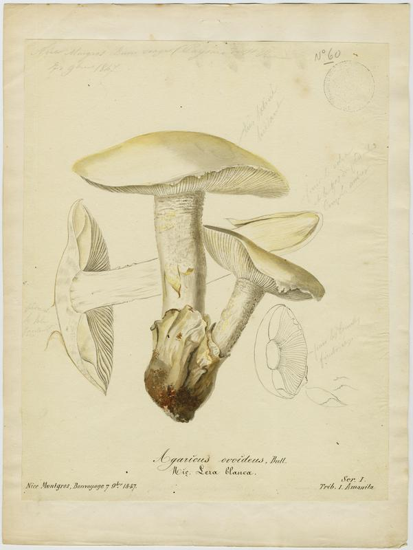 Amanite ovoïde ; Lera blanca ; champignon