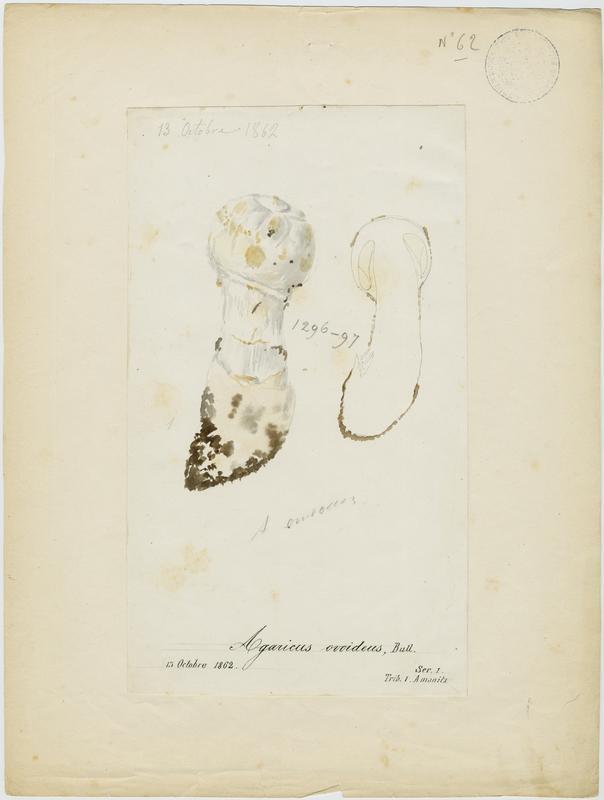 BARLA Jean-Baptiste (attribué à) : Amanite ovoïde, champignon