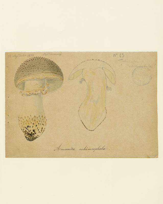 Amanite épineuse ; champignon_0