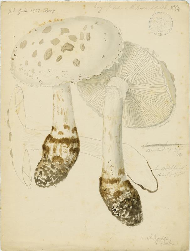 Amanite solitaire ; champignon_0