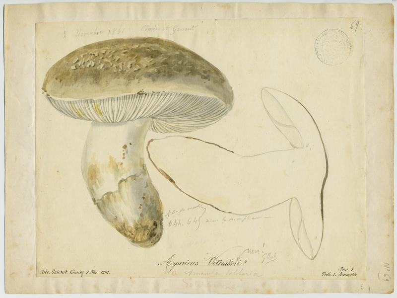 Amanite de Vittadini ; champignon