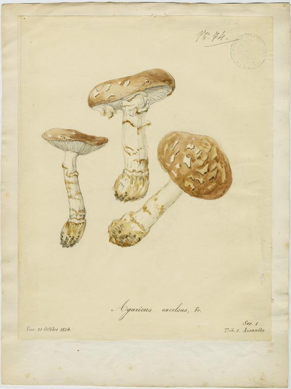 Amanite épaisse ; champignon_0